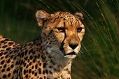 Portrait of a Cheetah walking through green grass poster