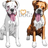 closeup portrait of the pair of domestic dogs Boxer breed white and brindle poster