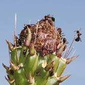 Ants Tend Aphids on an Unopened Cholla Cactus Bud poster