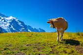 Cow turning back on high mountain meadow. poster