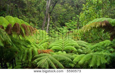 Hawaiian Regenwald