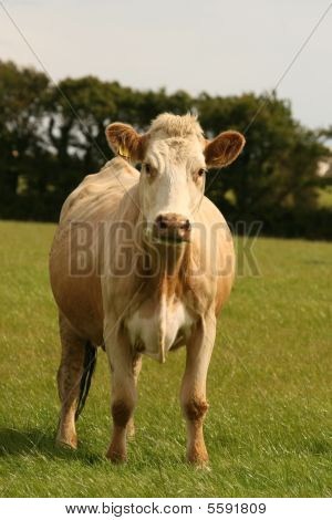 beef cow on the green field