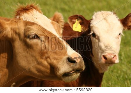 nice colors cows