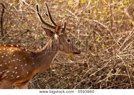 Axis (Chital) stag at dawn in Bandipur National Park India. poster