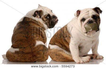 Funny Bulldog Fight