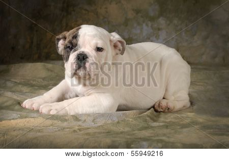 cute puppy - english bulldog puppy laying down looking at viewer - 12 weeks old poster