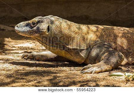 Komodo Dragon Profile Of Head
