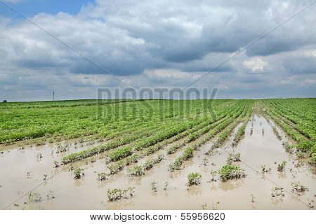 Agriculture, Flooded Soy Field