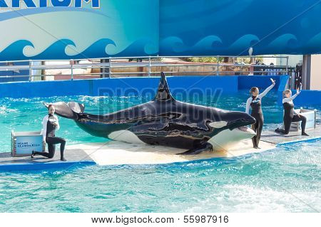 MIAMI,US - DECEMBER 8, 2013:The show of Lolita,the killer whale at the Miami Seaquarium.Founded in 1955,the facility receives over 500,000 visitors annually