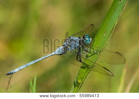 Strong Skimmer Dragonfly (orthetrum Brachiale) In Profile