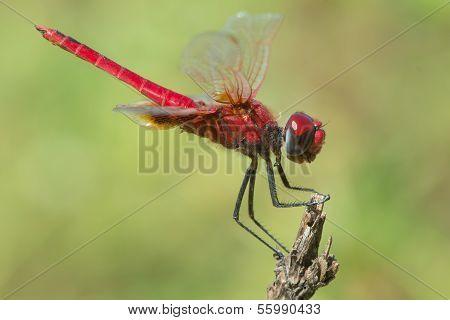 Scarlet Dragonfly (crocothemis Erythraea)
