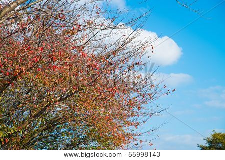 Cherry Tree That Was Autumn Leaves And Autumn Sky