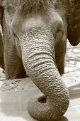Close-up of elephant and trunk resting on ground poster