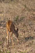 Chital (Axis Axis) fawn grazing in Bandipur National Park India. poster