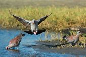 Speckled Pigeons(Columba Guinea) at a watering hole (one landing and an adult and juvenile) poster