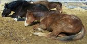 Three beautiful but lazy horses dozing and sunbathing side-by-side in the sun poster