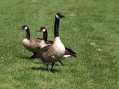 Some Canada geese looking for some food. poster
