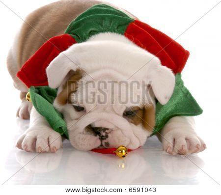 seven week old english bulldog puppy wearing christmas scarf poster