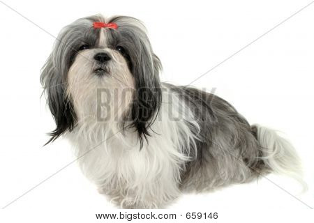 Young Shih Tzu puppy dog. Shot isolated on white. poster