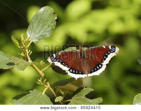 A Mourning Cloak Butterfly (Nymphalis antiopa) perched on a leaf poster