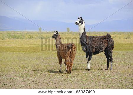 Llama in a mountain landscape