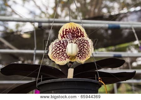 Paphiopedilum Orchid in a flower pot