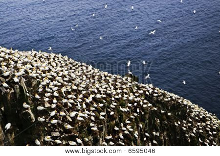 Northern gannets at Cape St. Mary's Ecological Bird Sanctuary in Newfoundland poster