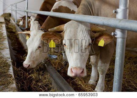 Tied Cows