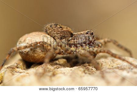 Female Wolf Spider (Lycosidae)