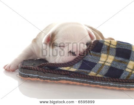 three week old english bulldog puppy curled up with a plaid slipper poster