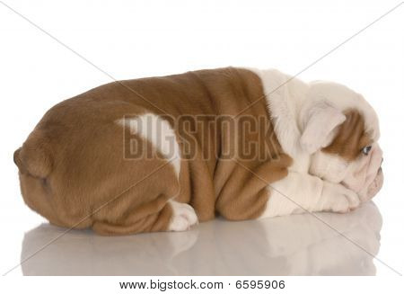 eight week old english bulldog puppy pouting with reflection on white background poster