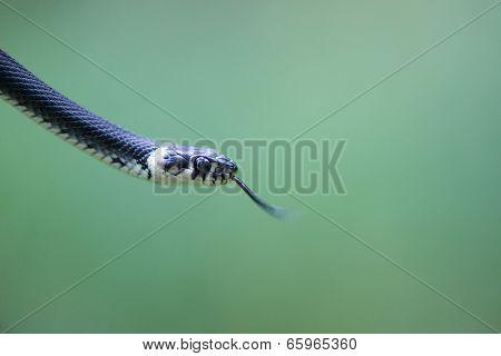 Head Of A Snake, Natrix Natrix