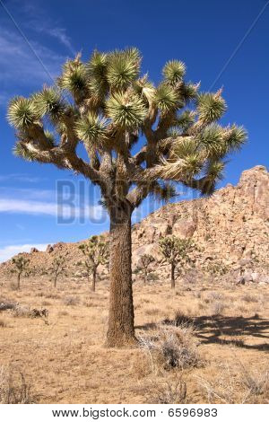 Joshua tree with multiple branches