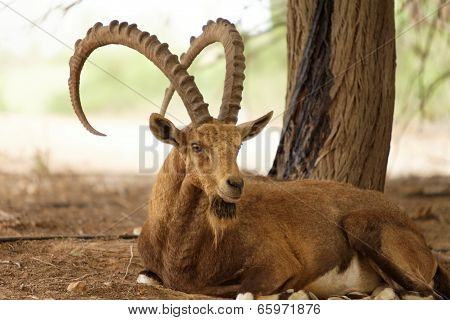 Wild Goat In Nature Outside