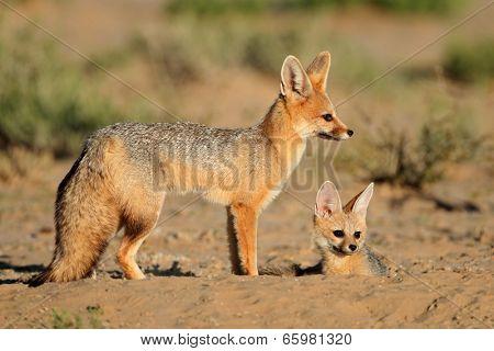 Cape foxes (Vulpes chama) at their den, Kalahari desert, South Africa