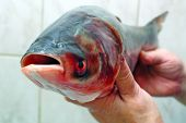 Fish silver carp  hypophthalmichthys molitrix in hand poster