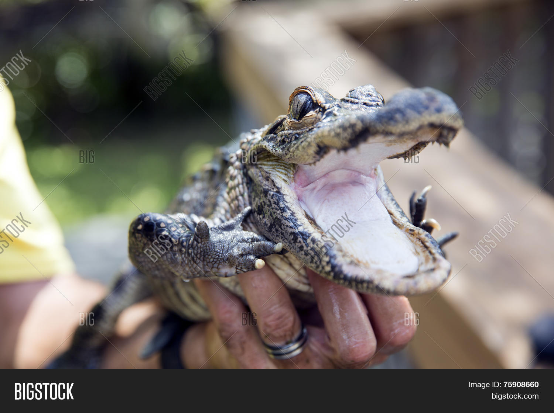 Cute Baby Alligator Image Photo Free Trial Bigstock
