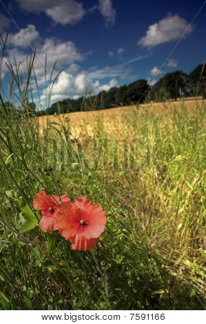 Two poppies on edge of corn field