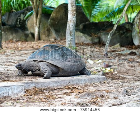 Close up Old Giant Aldabra Tortoise with Dried Leaves at Mahe Island, Seychelles.