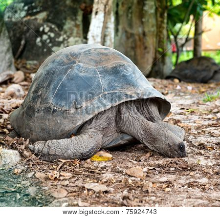 Close up Adult Huge Aldabra Tortoise Animal on the Ground with Dry Leaves at the Zoo