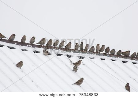 flock of sparrows sitting on the roof