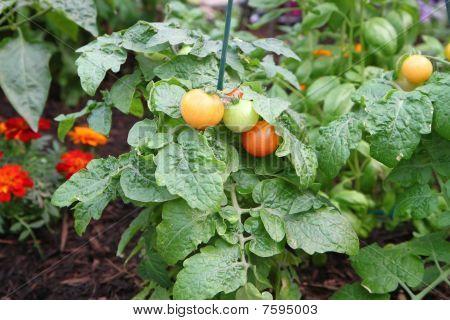 tomatoe plant in the garden