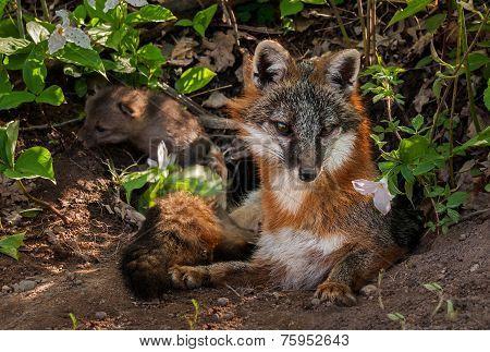 Grey Fox (urocyon Cinereoargenteus) Vixen With Kit In Background