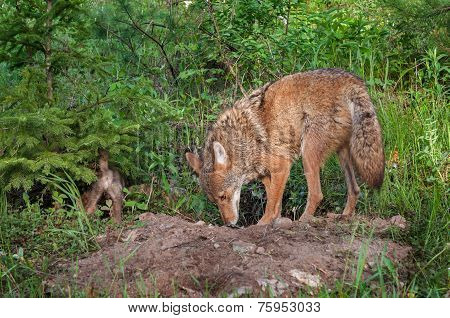 Adult Coyote (canis Latrans) And Pup Sniff About Den