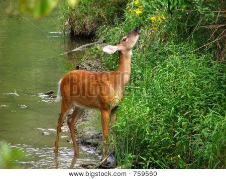 Whitetail Feeding