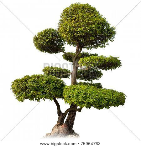 Tree isolated on white background. Asian bonsai plant for oriental garden