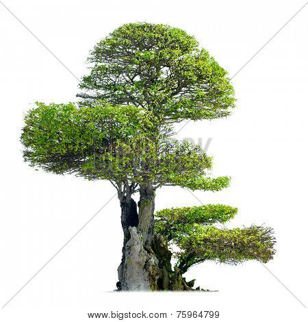 Old bonsai tree isolated on white background
