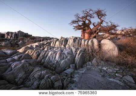 Kubu Island Baobab