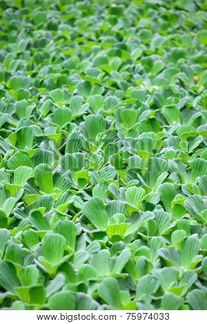 Water Lettuce Is Often Called Water Cabbage