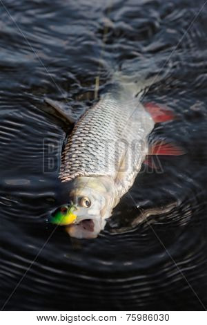 Chub caught on a plastic bait in water